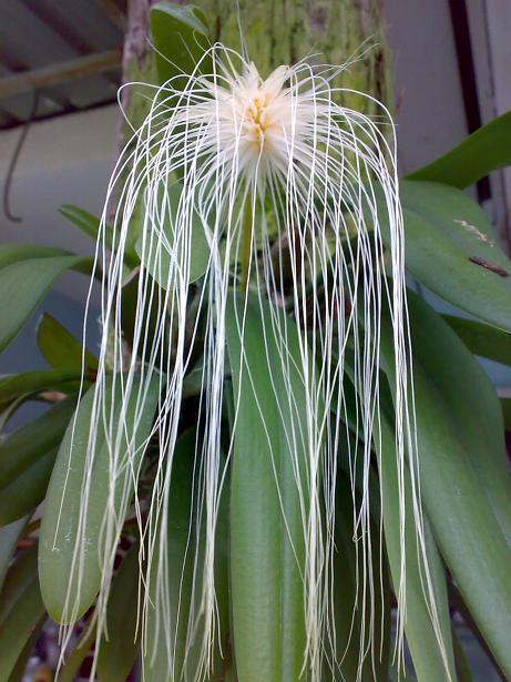 Bulbophyllum medusae 1