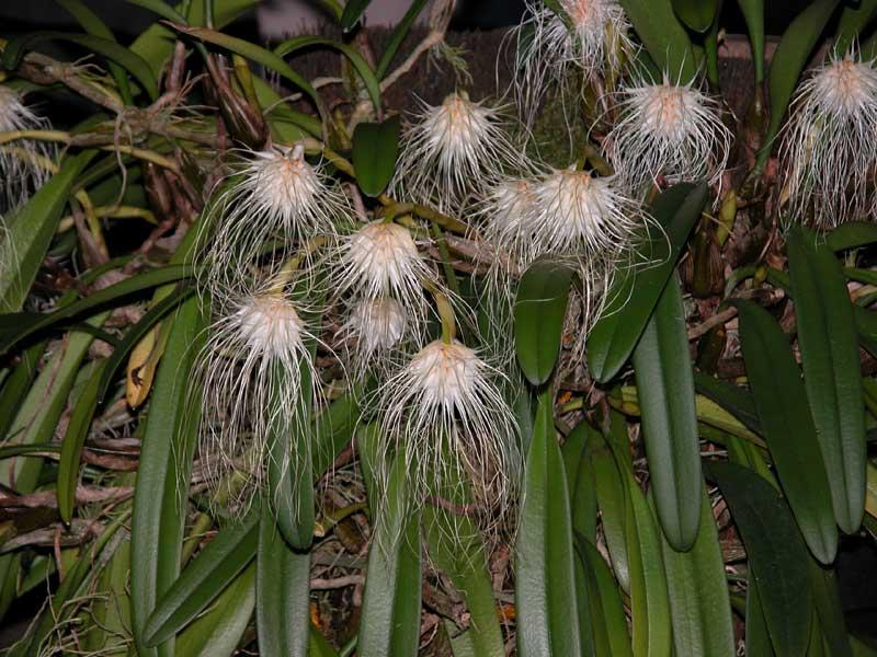 Bulbophyllum medusae 2