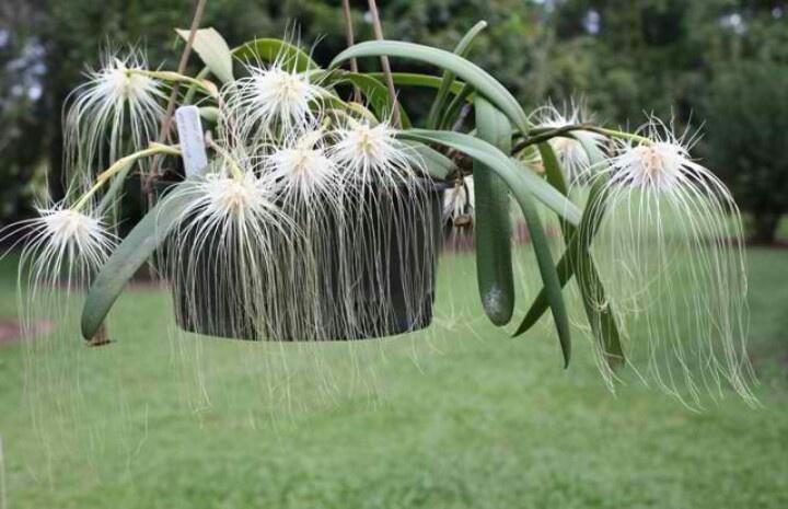 Bulbophyllum medusae 3