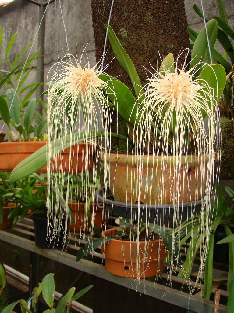 Bulbophyllum medusae 5