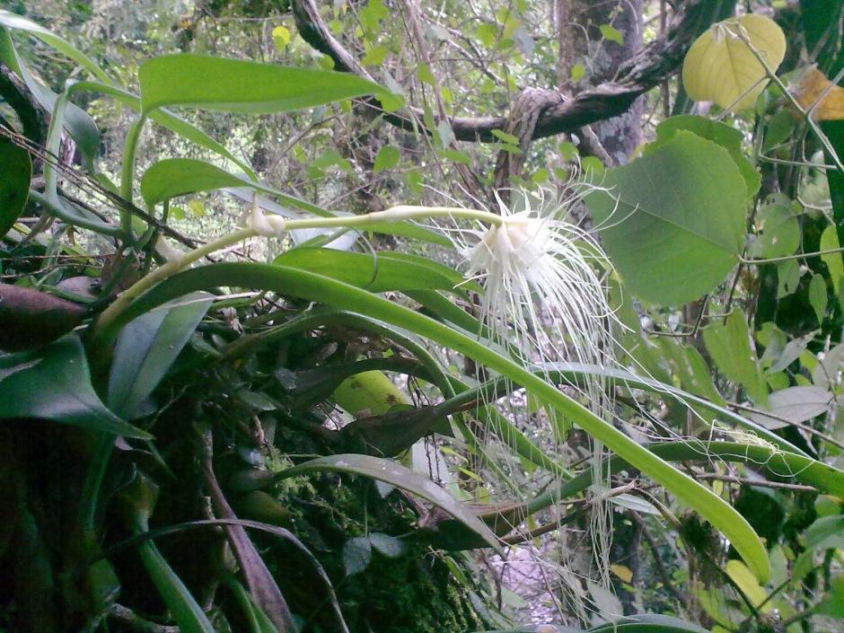 Bulbophyllum medusae 6
