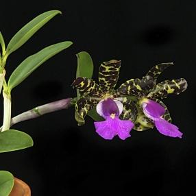Cattleya aclandiae 1