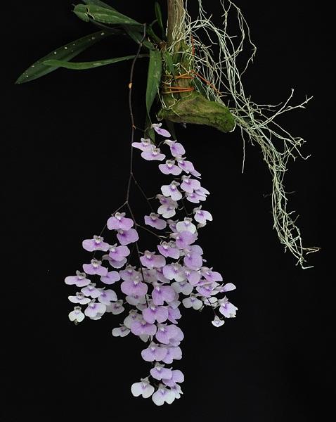 Ionopsis utricularioides 6