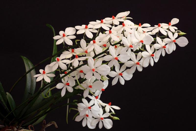 Aerangis Luteoalba var. rhodosticta 1