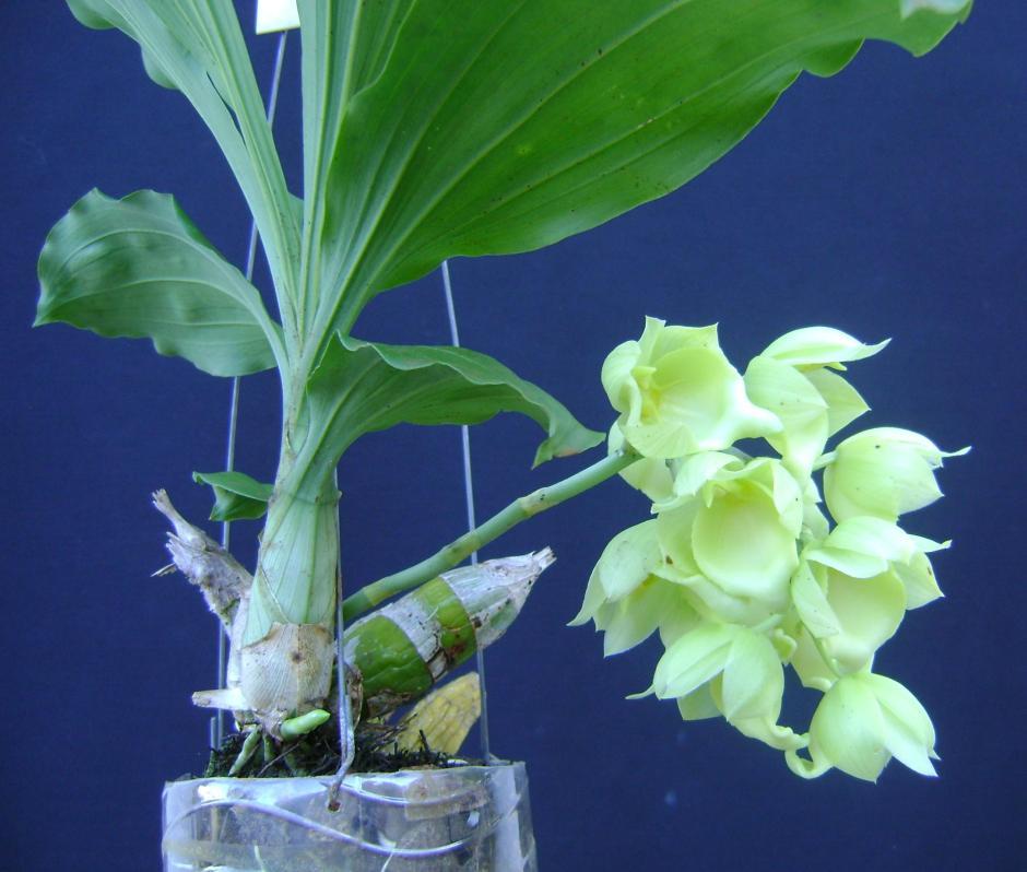 Catasetum vinaceum var albo 2