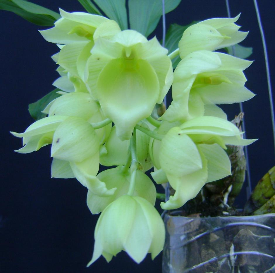 Catasetum vinaceum var albo
