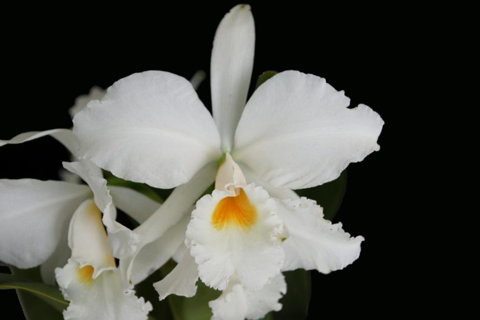 Cattleya labiata var alba 1