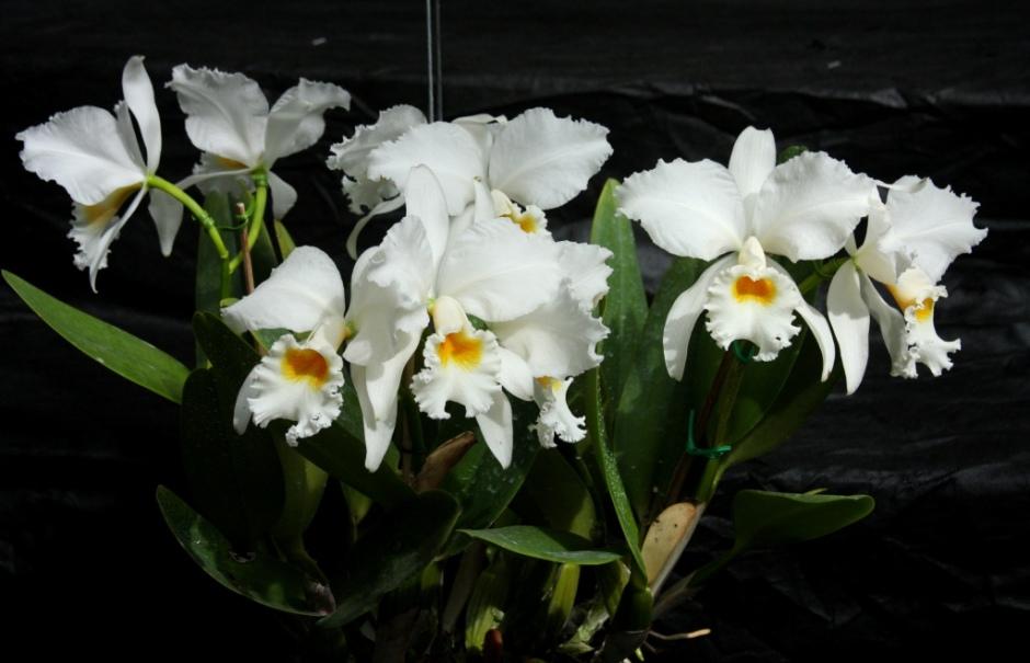 Cattleya labiata var alba 2