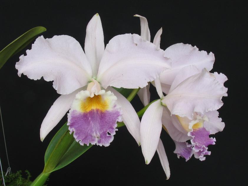 Cattleya labiata var coerulea 2