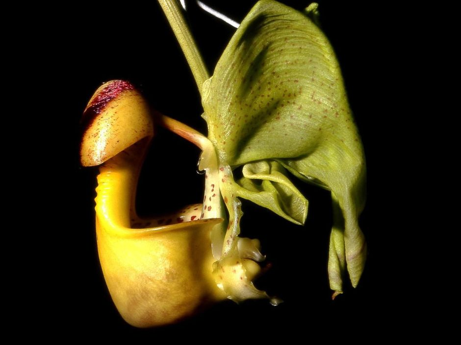 Coryanthes macrantha 1
