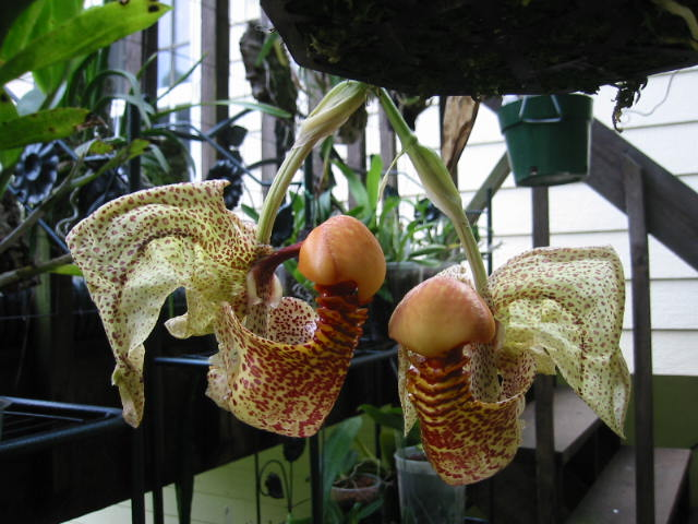 Coryanthes macrantha 5