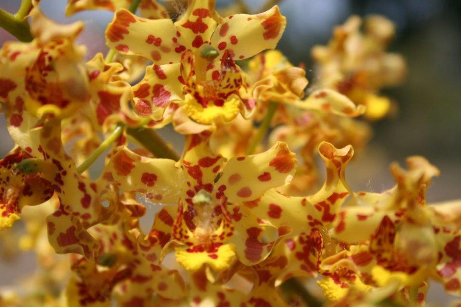 Cyrtopodium virescens 1