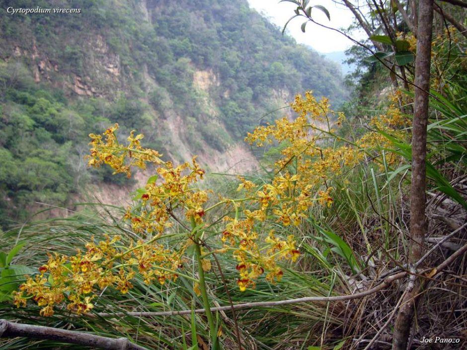 Cyrtopodium virescens 3