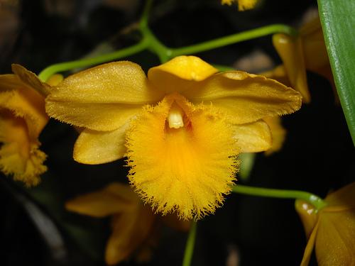 Dendrobium fimbriatum 1