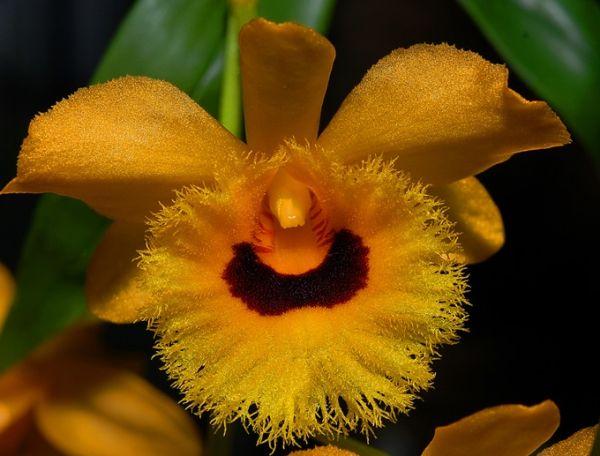 Dendrobium fimbriatum var oculatum 2