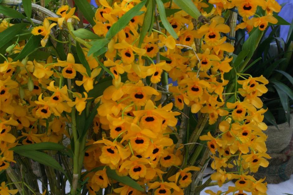 Dendrobium fimbriatum var oculatum 3