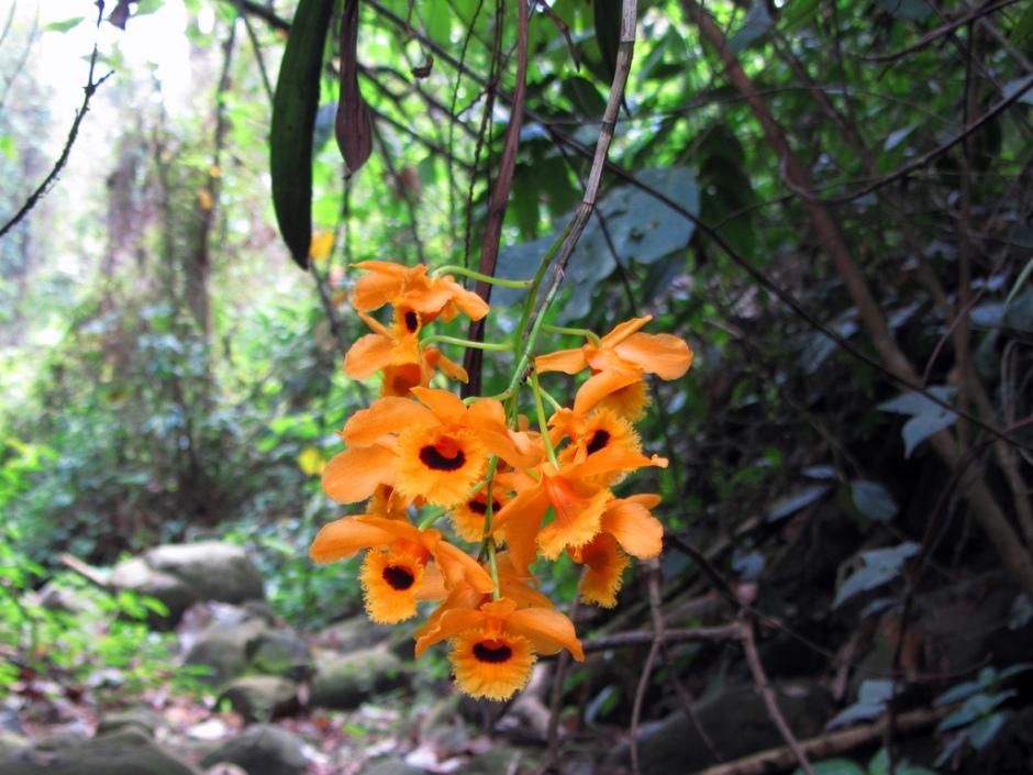 Dendrobium fimbriatum var oculatum 4
