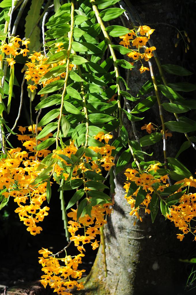 Dendrobium fimbriatum var oculatum 5