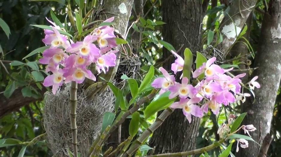Dendrobium nobile 10