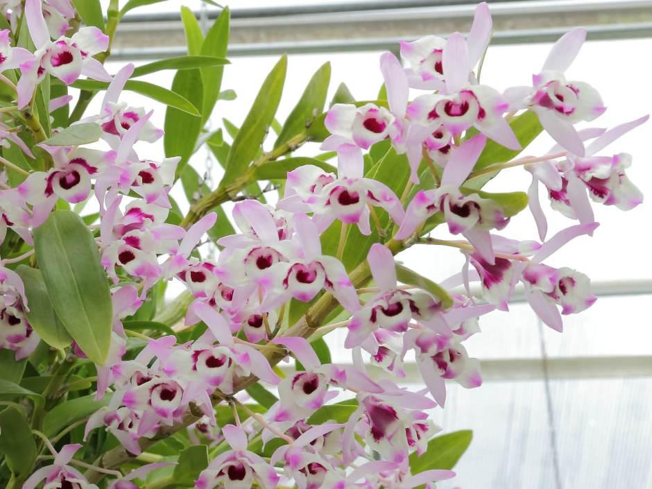 Dendrobium nobile 2