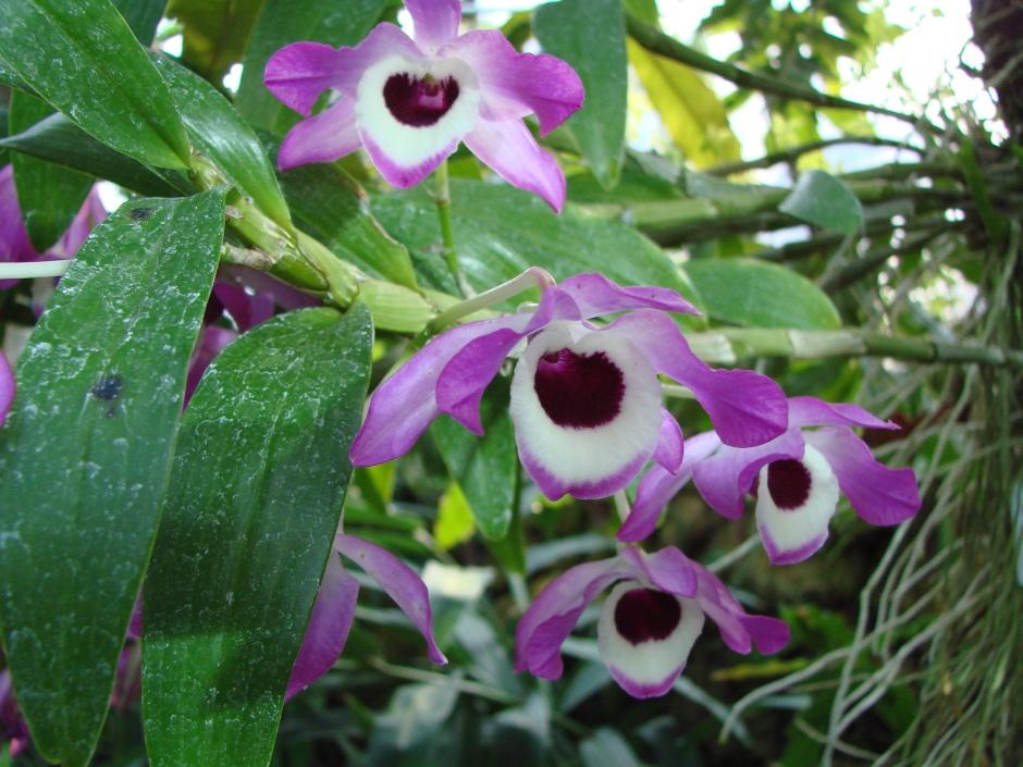 Dendrobium nobile 3