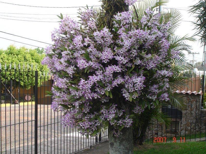 Dendrobium nobile 7