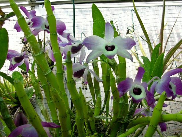 Dendrobium nobile 8