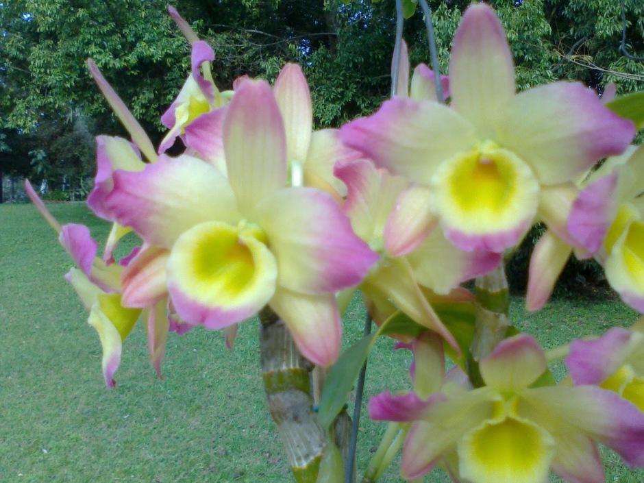 Dendrobium nobile 9