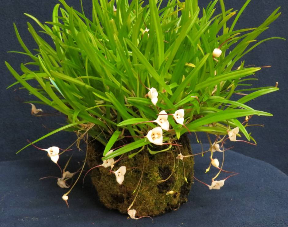dracula lotax 6