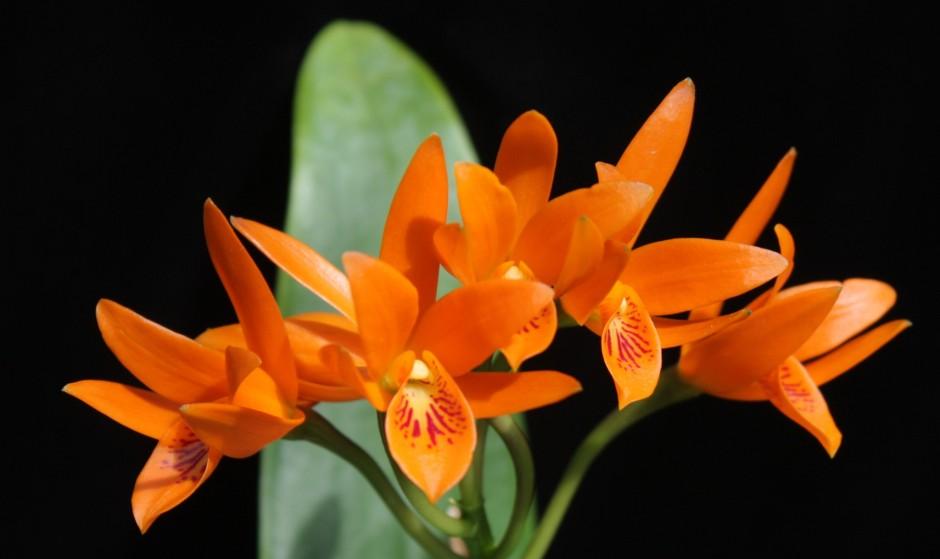 Guarianthe aurantiaca 1