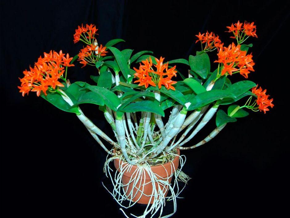 Guarianthe aurantiaca 2