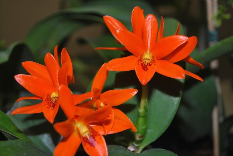 Guarianthe aurantiaca 3