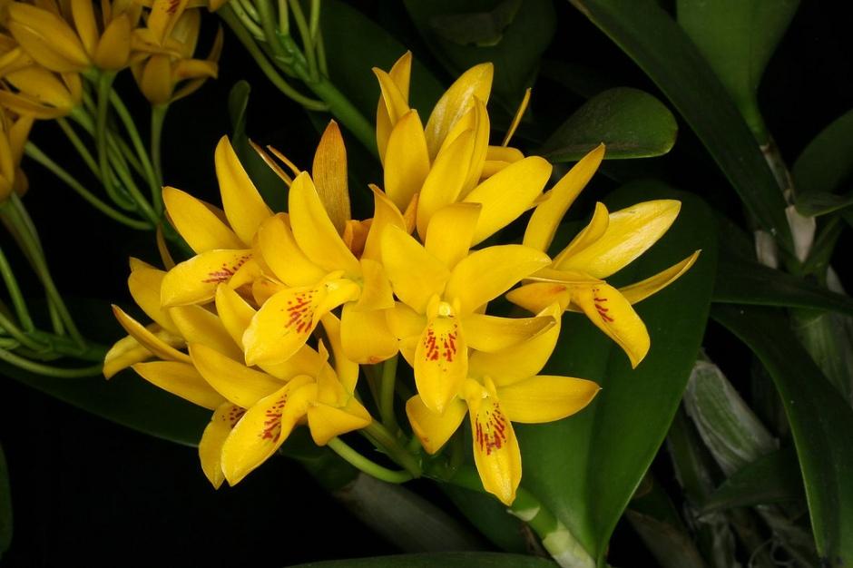 Guarianthe aurantiaca 4
