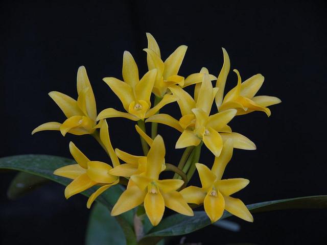 Guarianthe aurantiaca 5