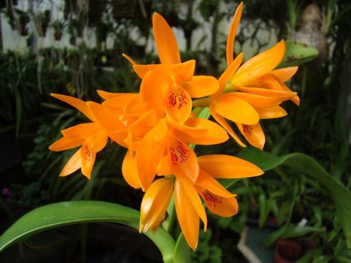 Guarianthe aurantiaca 6