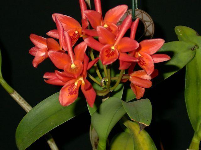 Guarianthe aurantiaca 7