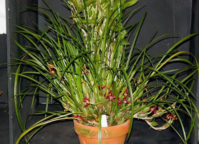 Maxillaria tenuifolia 3
