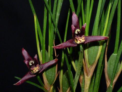 Maxillaria tenuifolia var nigra 1