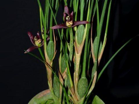 Maxillaria tenuifolia var nigra 2