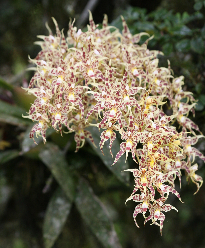 Odontoglossum gloriosum 5
