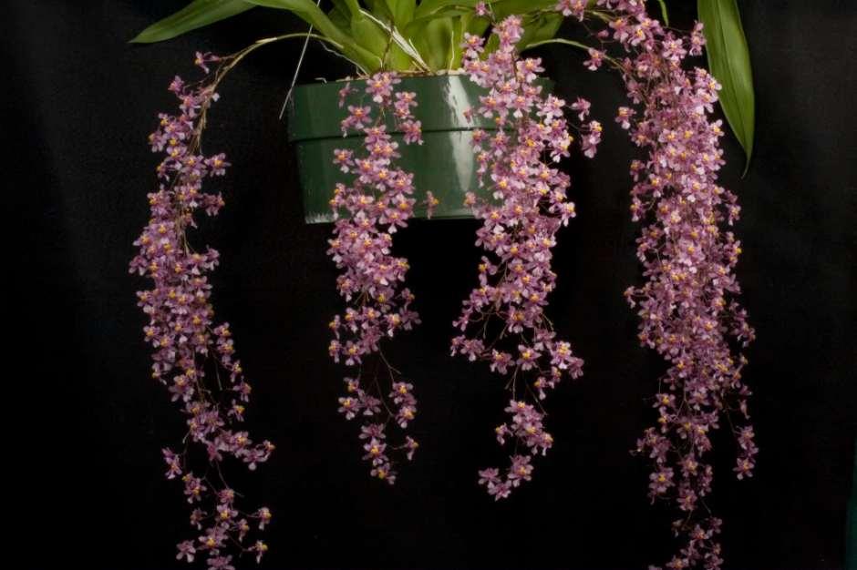 Oncidium ornithorhynchum 5