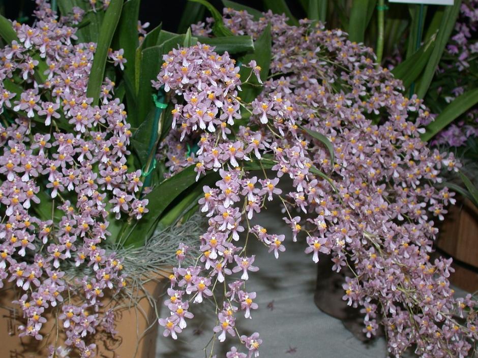 Oncidium ornithorhynchum 7