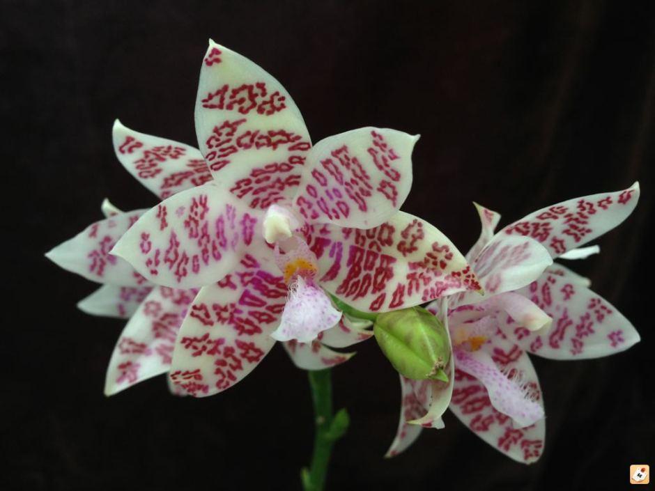 Phalaenopsis hieroglyphica 1
