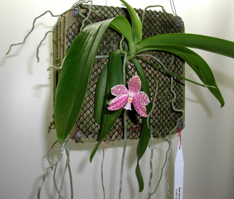 Phalaenopsis hieroglyphica 7