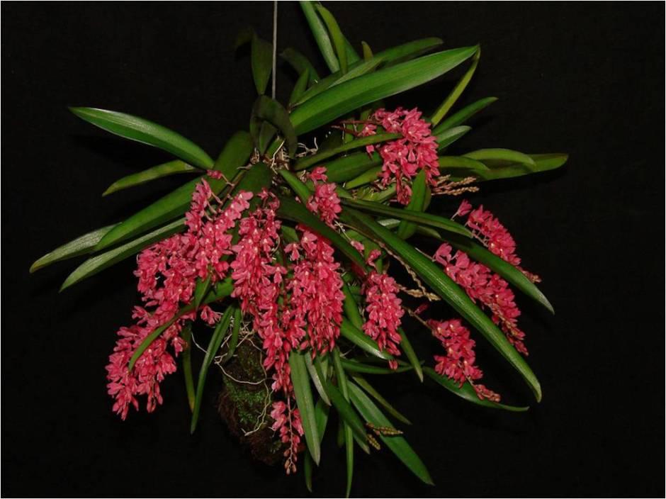 Rodriguezia lanceolata 1