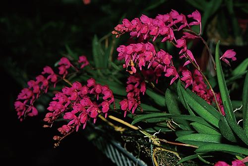 Rodriguezia lanceolata 2