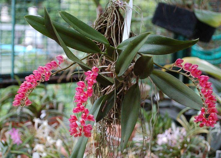 Rodriguezia lanceolata 3