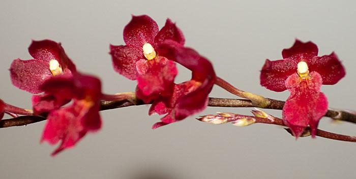 Rodriguezia lanceolata 6
