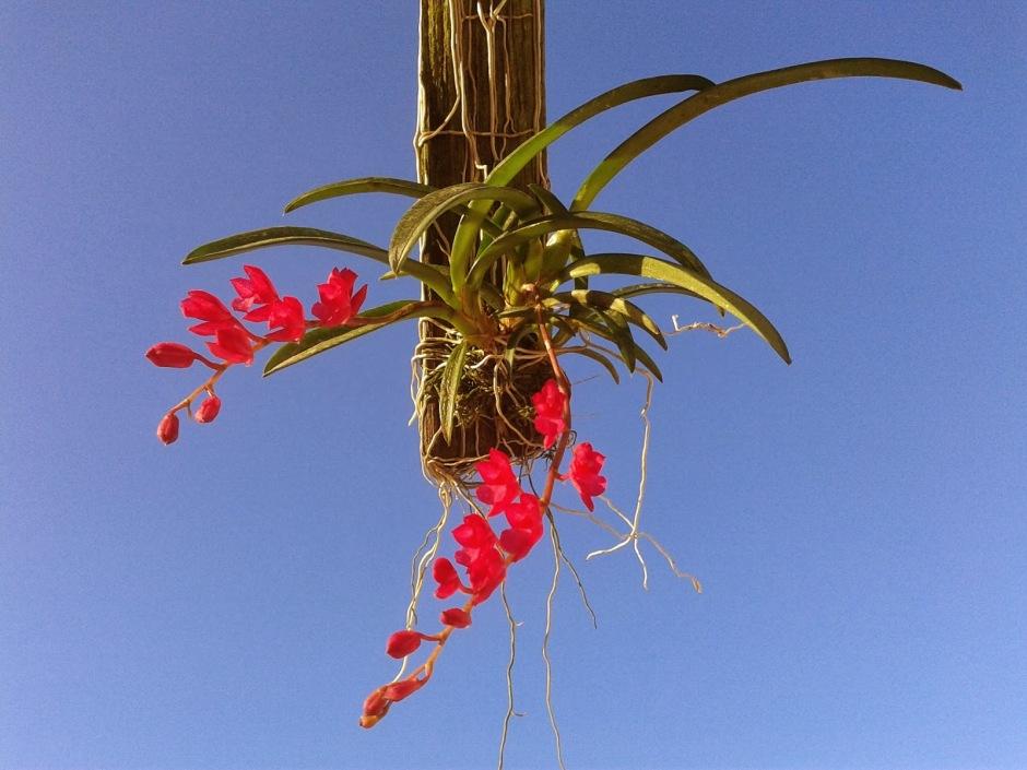 Rodriguezia lanceolata 7