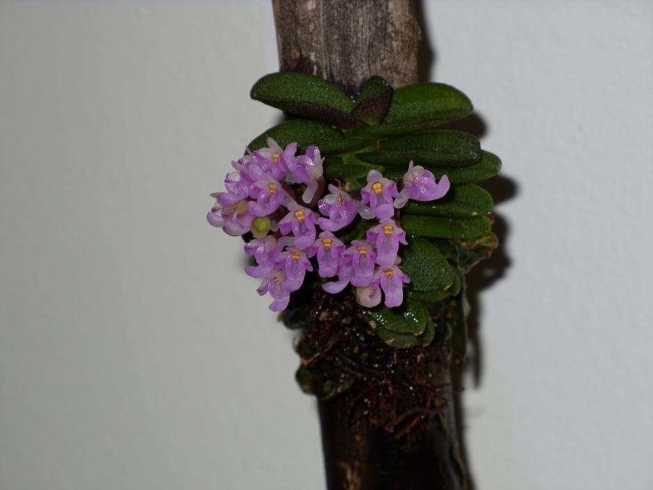 Schoenorchis fragrans 7